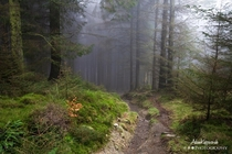 Walking into the misty pine forest Windermere The Lake District