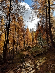Walking through a larch forest in the Dolomites South Tyrol
