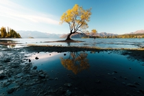 Wanaka Tree in Autumn