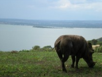 Warthog near Lake George in Uganda