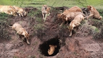 Warthog Tries to Hide in a Hole Surrounded by Hungry Lions Serengeti Park Tanzania
