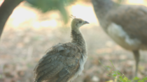Was fortunate to get a glimpse of this peachick in my front yard today