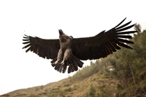 was visiting an animal sanctuary in peru and this andean condor flew over my head I wasnt ready for the shot but luckily i got it in focus and frame This is bird is endangered and is the largest type of flying bird in the world with a wingspan of up to m