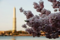 Washington DC  West Potomac Park with cherry blossoms
