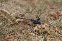 Wasp feeding on a dead dragon fly