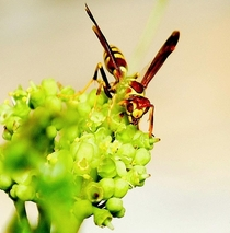 Wasp on Milkweed Plant   x  San Antonio Texas