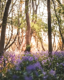 Watching the sunrise over the bluebells Oxfordshire UK