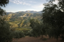 Watching the sunset from an Andalusian olive field