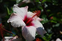 Water droplets on a Hibiscus flower in Montreux Switzerland