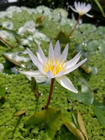 Water Lily Nymphaea micrantha at NYC Botanical Garden