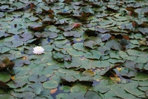 Water Lily Nymphaea sp