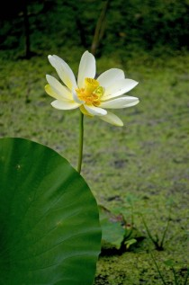 Water Lily NymphaeaceaeOC