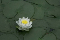 Water Lily Nyphaea spp blooming in Korea photo by Steve Evans