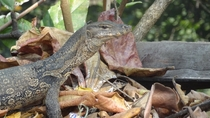 Water Monitor Varanus salvator OC -