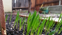 Water on the tips of my recently sprouted cat grass phone pic