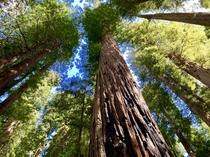 We live amongst ancient giants Redwood Forest CA