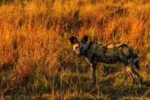 We watched this African Wild Dog and his pack hunting at sunset