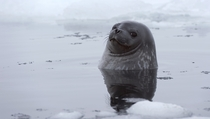 Weddell Seal Leptonychotes weddellii near King George Island Antarctica
