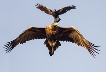 Wedge Tailed Eagle and Magpie fighting