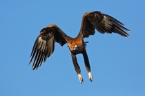Wedge-tailed eagle Aquila audax sometimes known as eaglehawk