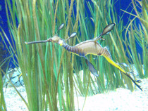Weedy Seadragon Phyllopteryx in Monterey Bay