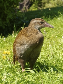Weka Gallirallus australis near Punakaiki New Zealand
