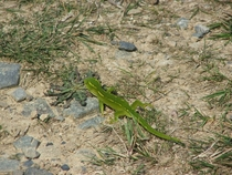 Wellington green gecko Naultinus elegans punctatus in Wainuiomata New Zealand