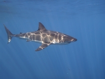 Went Great White diving off the coast of Isla Guadalupe Found em
