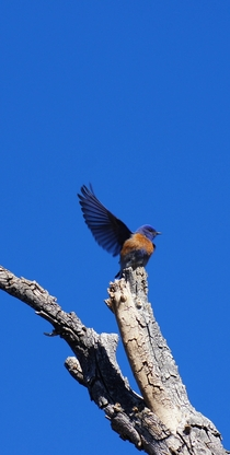 Western Bluebird stretching its wing