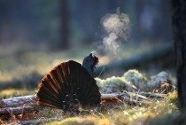 Western Capercaillie Tetrao urogallus