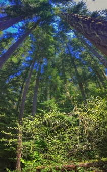 Western Cascades coniferous forest with dogwood understory Oregon USA