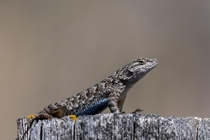 Western Fence Lizard Sceloporus occidentalis - From Montanas Only Known Population
