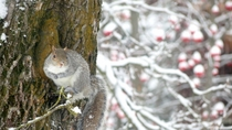 Western Gray Squirrel on Sugar Maple Spokane WA x