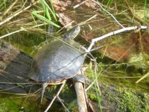 Western Painted Turtle Chrysemys Picta Bellii Quetico Provincial Park