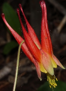 Western Red Columbine - Aquilegia elegantula Gore Creek Trail