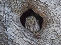 Western Screech Owl by by Ken Phenicie Jr