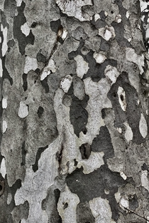Western Sycamore Platanus racemosa bark pattern