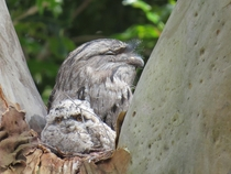 Weve had Tawny Frogmouths nesting in our back yard for as long as I can remember  Sydney Australia