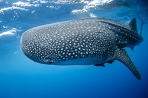Whale Shark approx - ft long Photo credit to NOAA