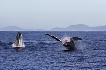 Whales off the coast of Queensland Australia