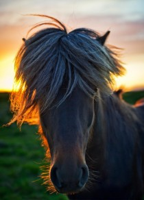 What horses look like in Iceland