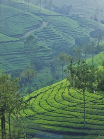 What I meant to post yesterday Indian tea plantations