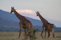 Whats up with that big mountain over there Geoff Giraffes in Tsavo Kenya with Mt Kilimanjaro in background