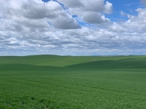 Wheat Farms Palouse WA Late May