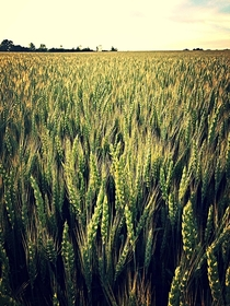 Wheat field in Upstate NY x