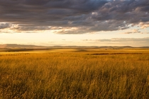 Wheat fields drenched in a golden sunset near Moscow ID