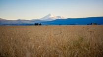 Wheat fields with a view of Mount Shasta Macdoel CA