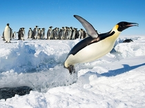 When Penguins Fly Gould Bay Antarctica Photo by Christopher Michel