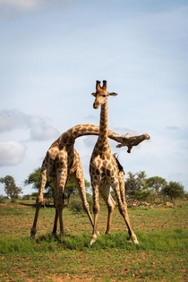 When your sibling just cant behave normally Giraffes