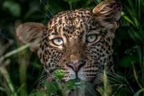 When youre in the bush and you think youre being watched you are probably getting watched  Leopard  Panthera Pardus